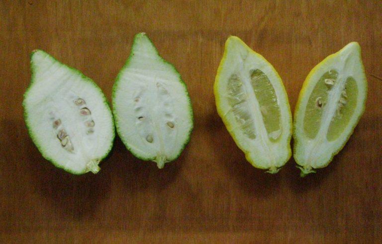 אתרוג או לימון? האתרוג הימני מורכב עם לימון, השמאלי לא מורכב