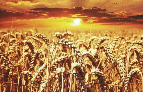 """שבועות ושתי הלחם – הרב איתי אליצור שליט""""א"""